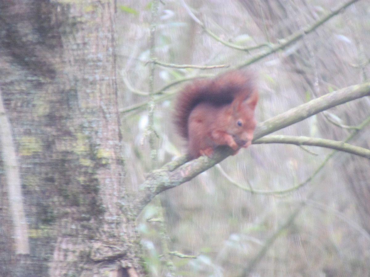 Ecureuil roux au bord de Marne à Chelles