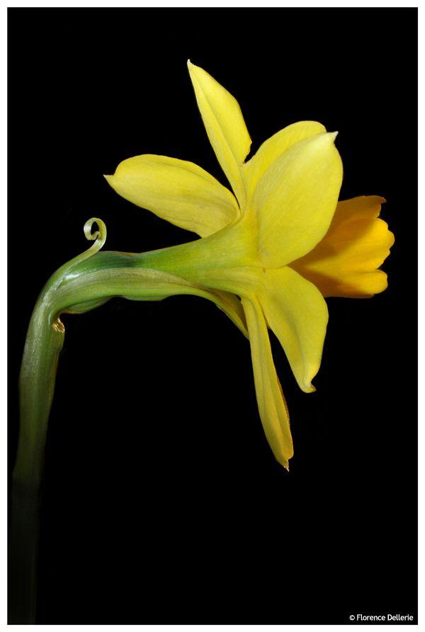 En jaune & noir : photo de narcisse
