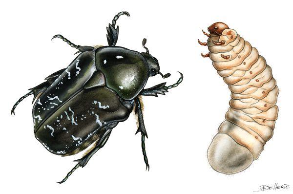 Cétoine marbrée et sa larve, illustration à l'aquarelle