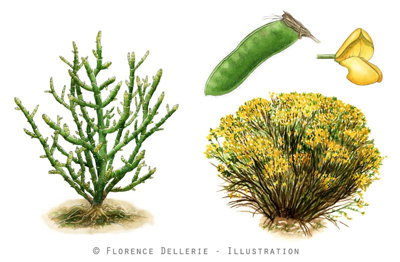 Illustrations botaniques : Salicorne & Genêt purgatif