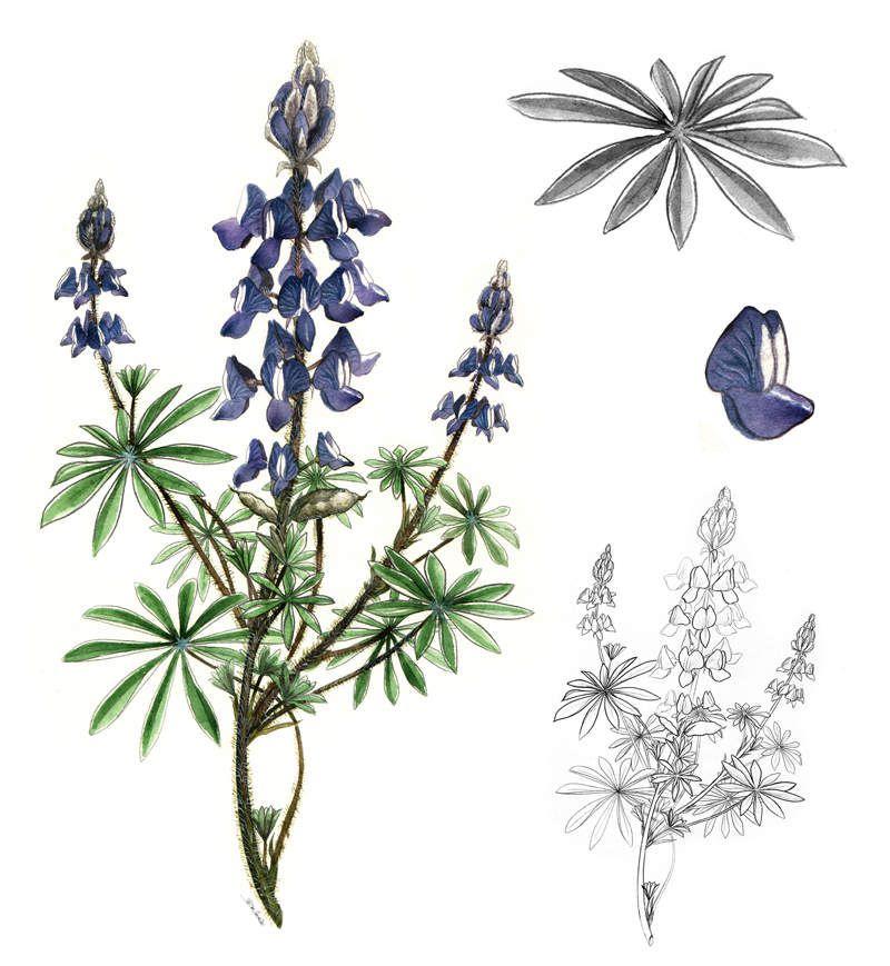 Illustration botanique à l'aquarelle : Lupin