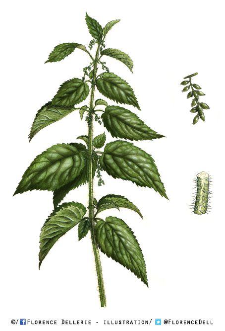 Illustration botanique (et culinaire) : grande ortie