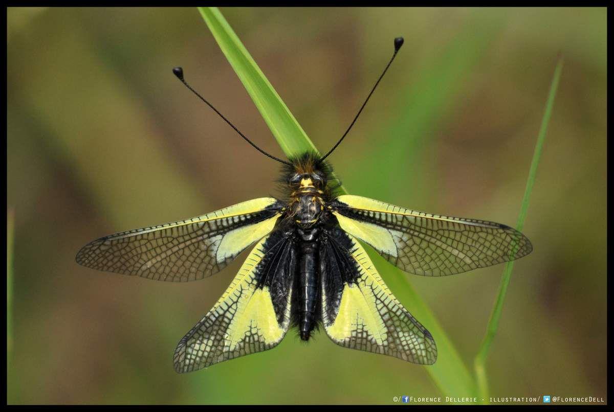 Photo : Libelloides coccajus, l'Ascalaphe soufré