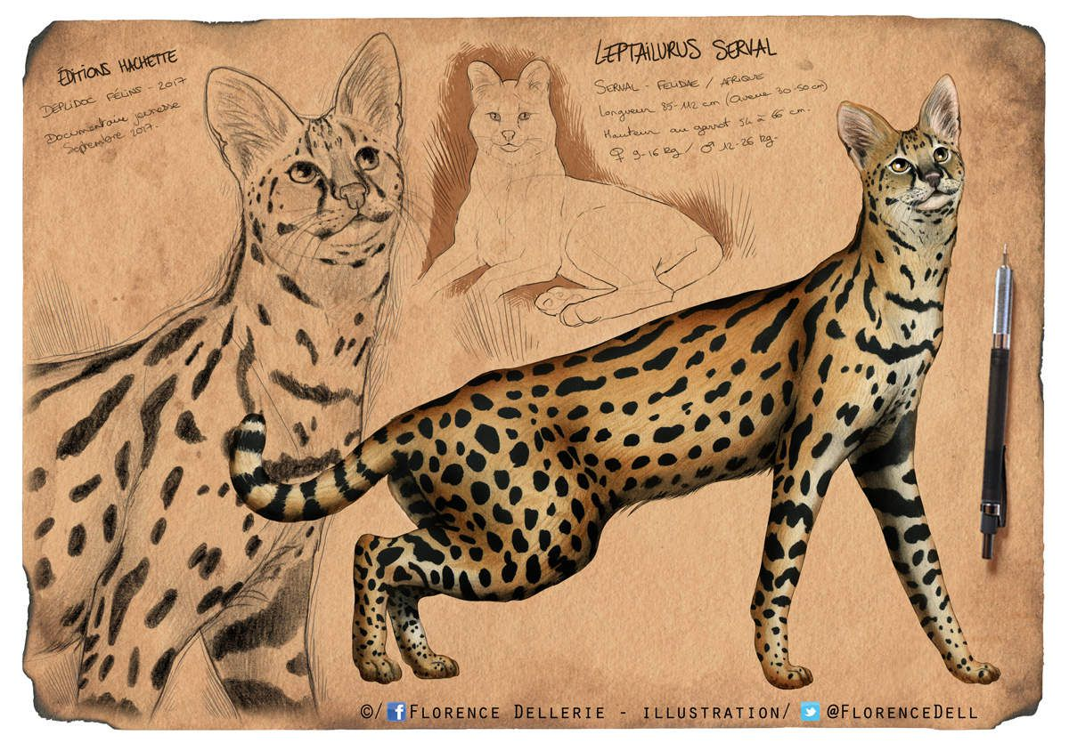 Illustration et croquis naturalistes : Serval