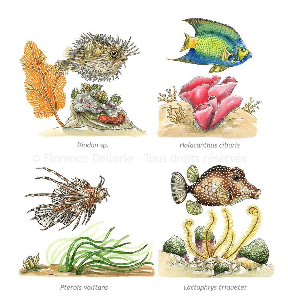 Illustrations documentaires jeunesse : poissons à l'aquarelle
