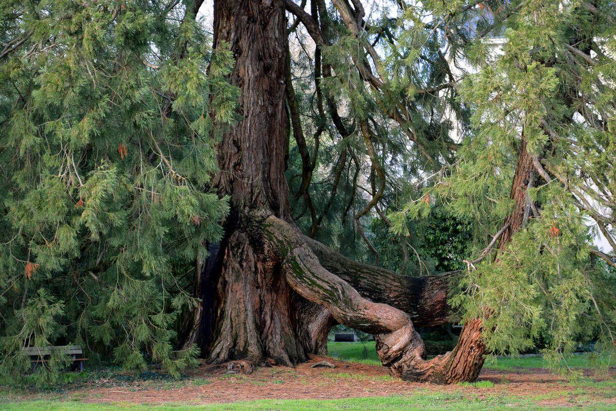 Séquoia géant (sequoiadendron giganteum) - Château de la Fleuriaye à Carquefou