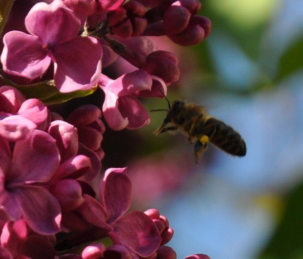 butinage dans le lilas