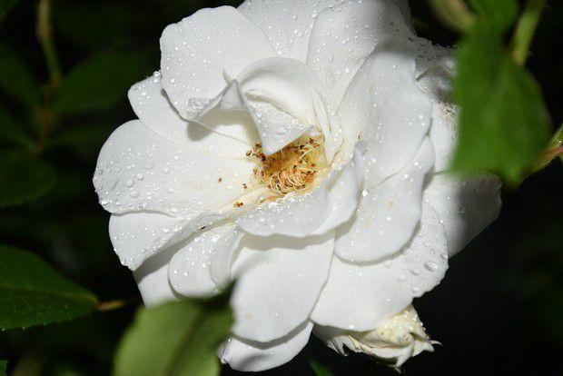 portrait de roses...