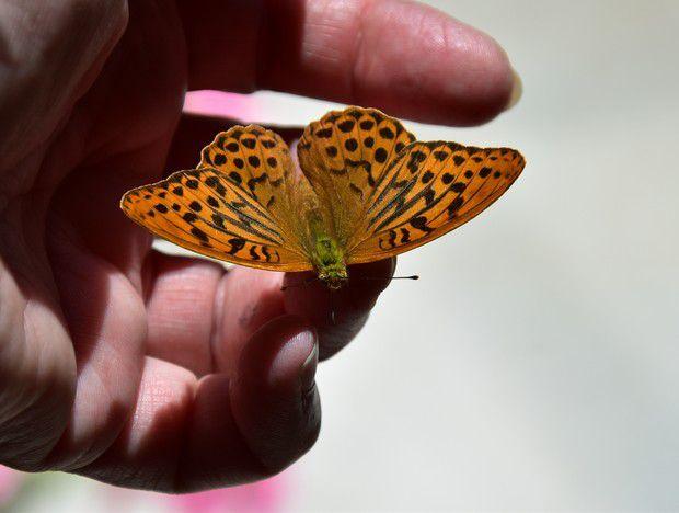 """""""Papillon, ce billet doux plié cherche une adresse de fleur"""". Jules Renard"""