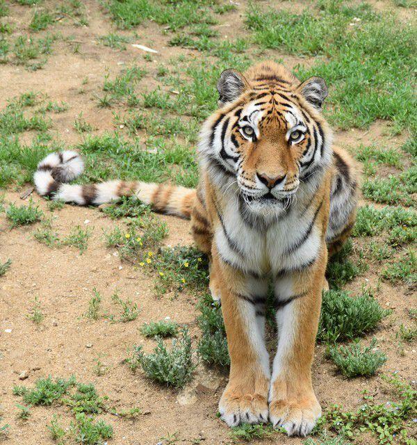 « Dieu a inventé le chat pour que l'homme ait un tigre à caresser chez lui. »...Victor Hugo, inspiré par son chat Chanoine