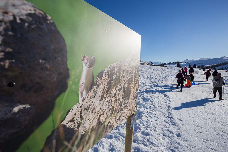Un glouton  © Yannick Lenoir             Une hermine  © Yannick Lenoir