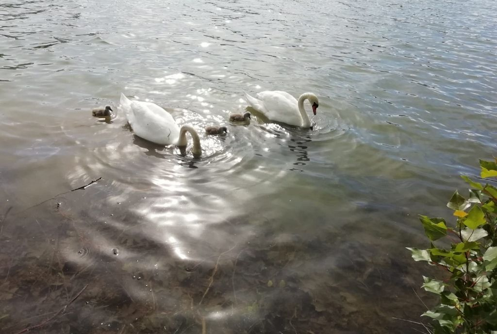 Les oies et carnards sur le lac Daumesnil à Vincennes