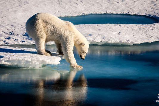 Un ours polaire teste la solidité de la banquise dans l'Arctique, en août 2015. MARIO HOPPMANN / AFP