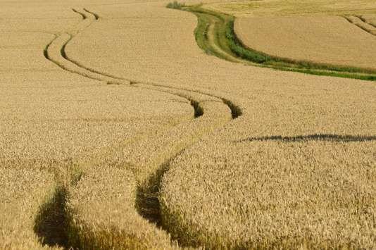 En France, en 2014, les SDHI étaient utilisés sur près de 70 % des surfaces de blé tendre et 80 % des surfaces d'orge d'hiver. Roger Rozencwajg / Photononstop