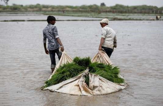 Un très grand nombre d'aliments auront une moindre valeur nutritive, comme le riz, ici prêt à être repiqué, à Ahmedabad (Inde), en 2017. AMIT DAVE / REUTERS
