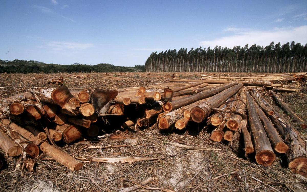 Une conséquence de la déforestation : une plantation d'Eucalyptus détruire à Bahia au Brésil.