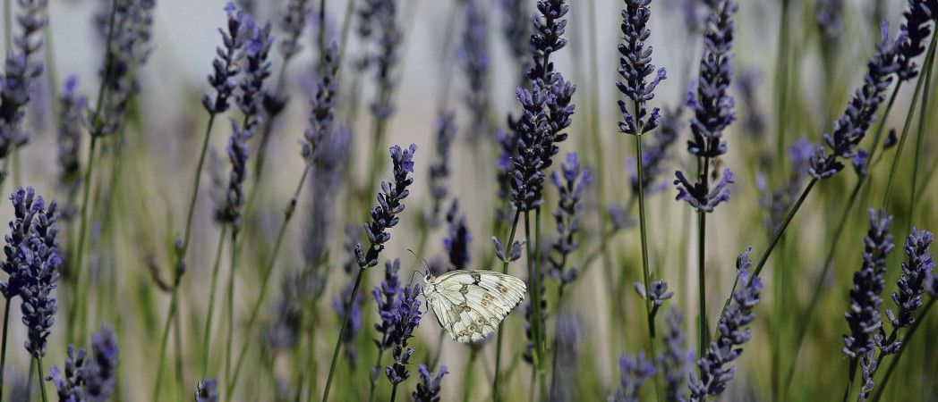 Le nombre d'espèces de papillons a chuté de 58 % sur les terres cultivées en Angleterre entre 2000 et 2009. A. Comas/Reuters