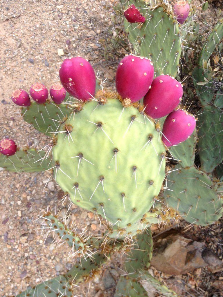 161 Musée désert SONORA - Arizona