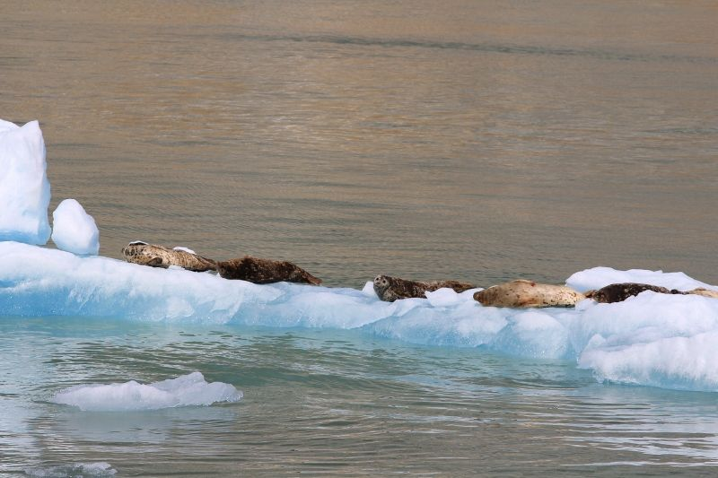 84 Phoques au soleil / iceberg Alaska
