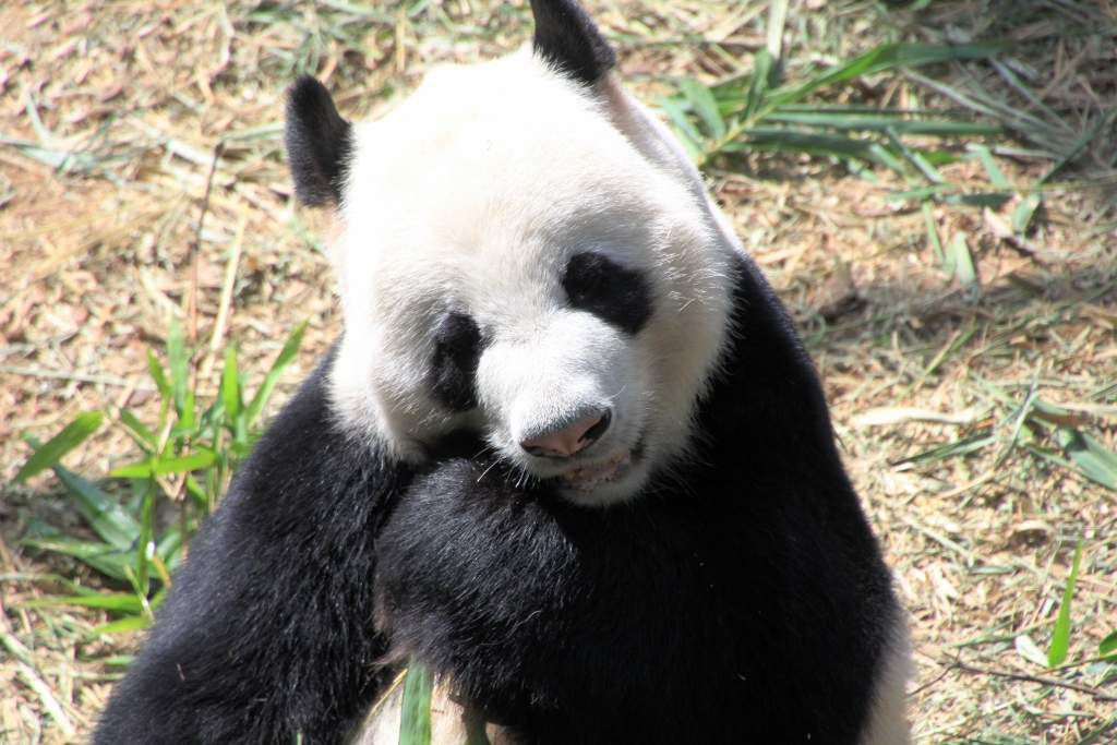 81 Pandas zoo Singapour