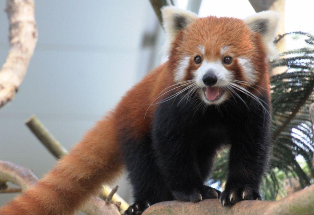 81 Pandas roux zoo Singapour