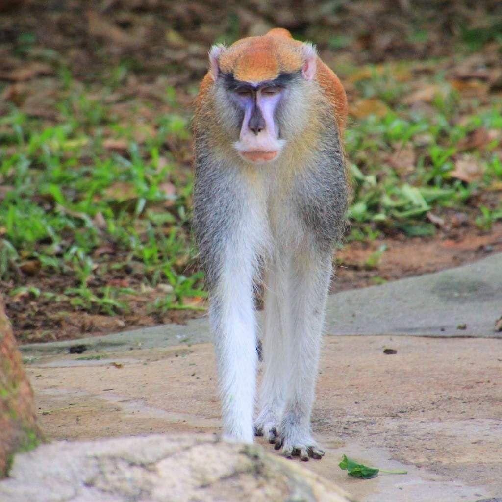 81 Primates  zoo Singapour