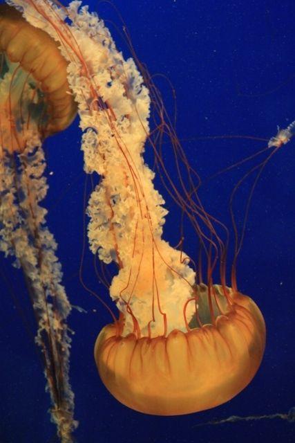 75 Méduses aquarium Vancouver