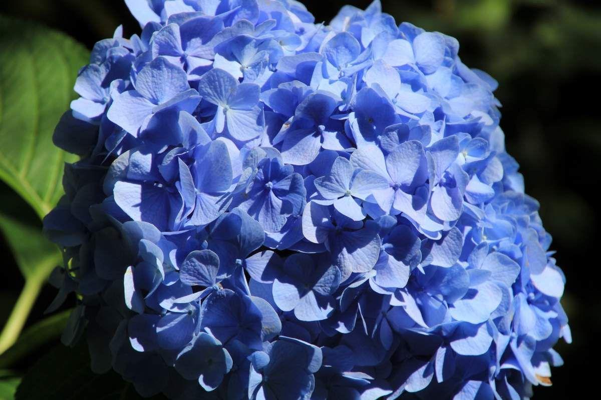 Fleurs du Canada