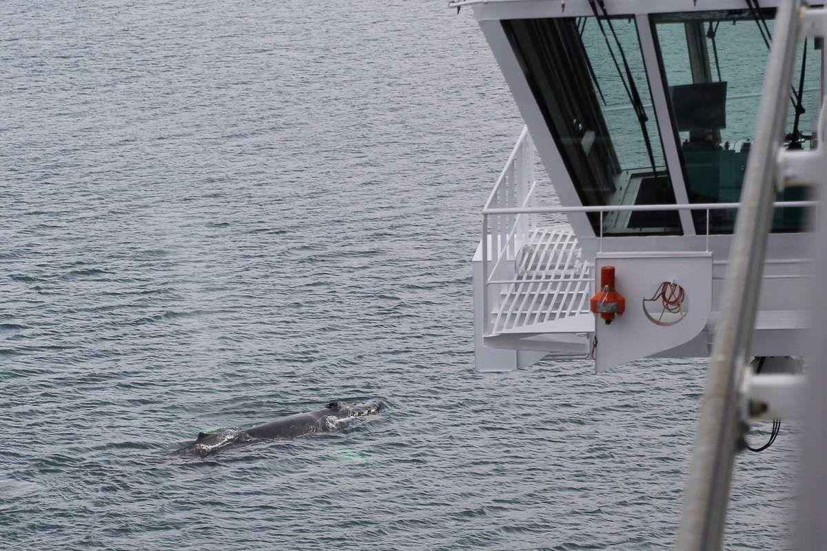 84 Baleines près du paquebot - Alaska