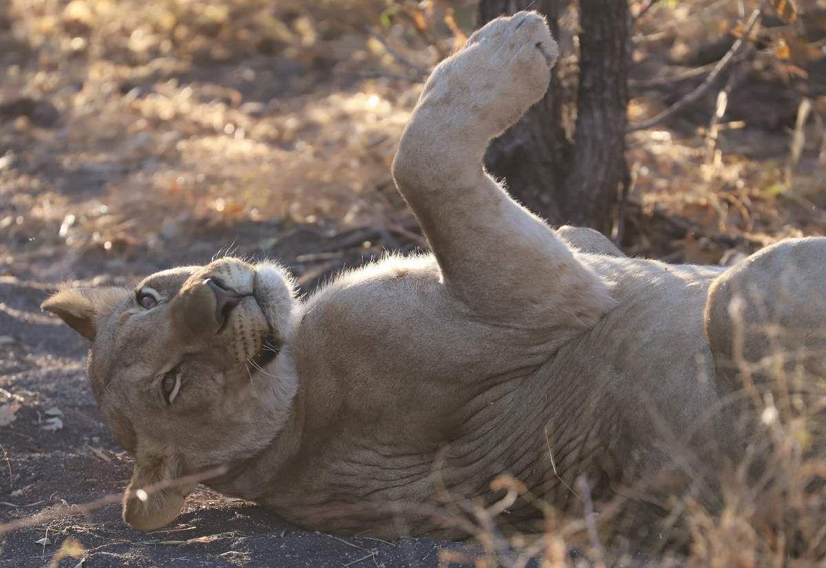 78 Lions en Namibie