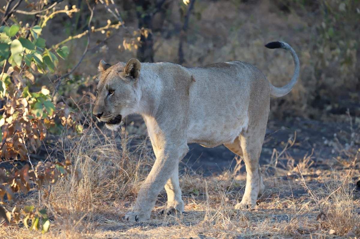 78 Fauves de Namibie