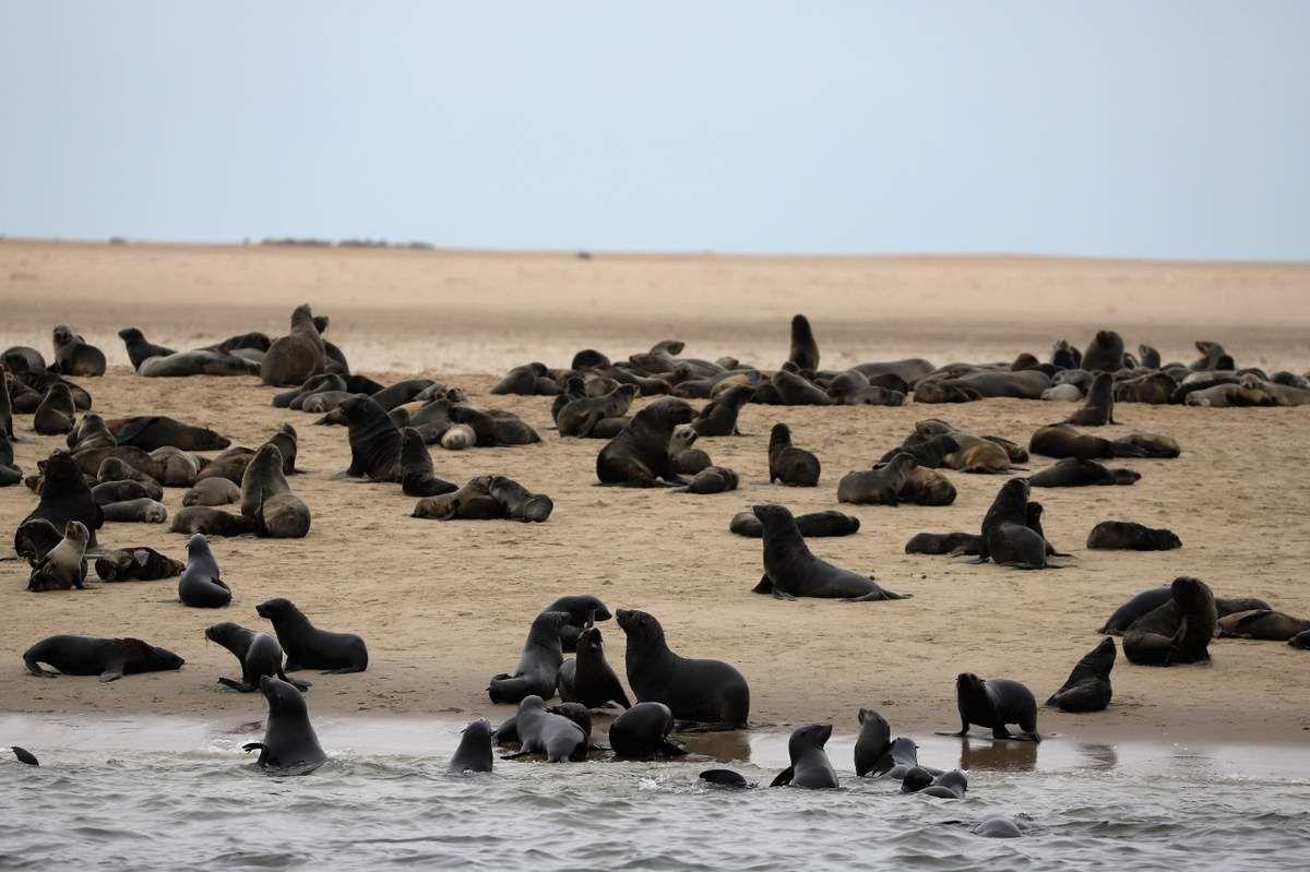 78 Otaries Walvis Bay Namibie