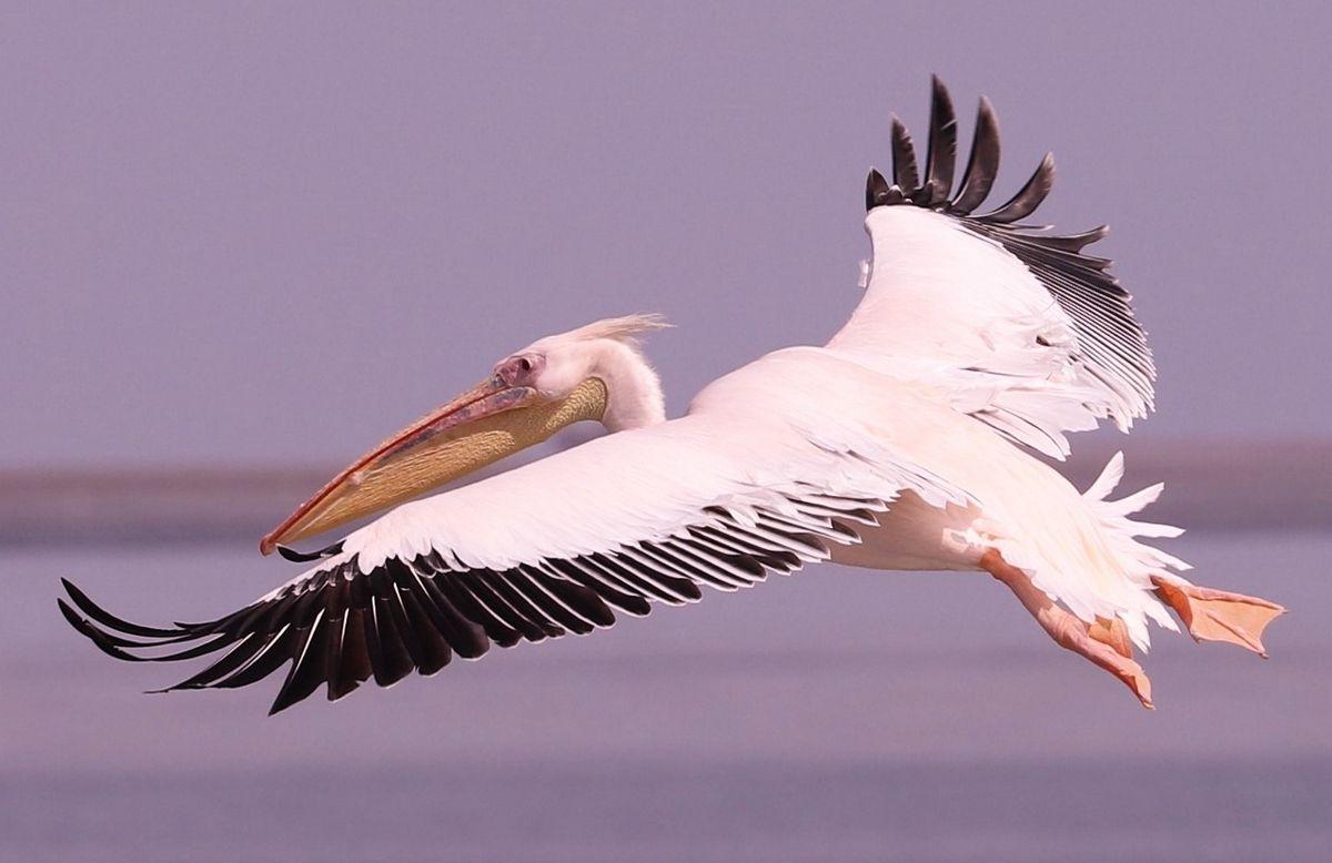 78 Pélicans Namibie