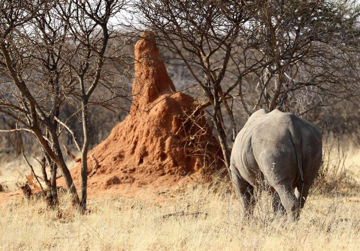 78 Rhinocéros Namibie