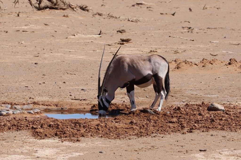 78 Antilopes Namibie