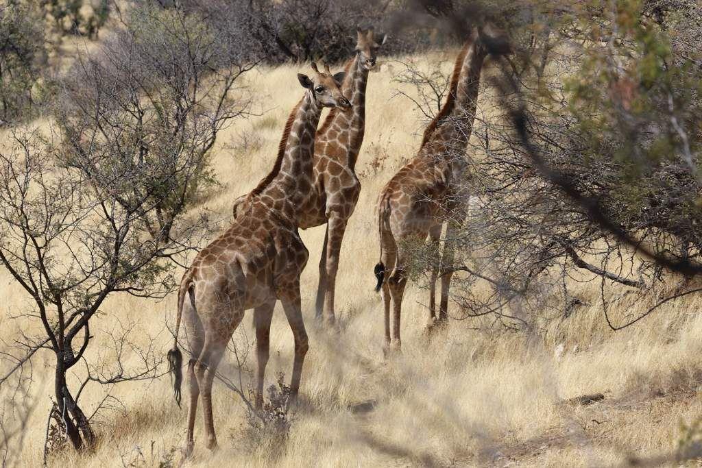 78 Girafes Namibie
