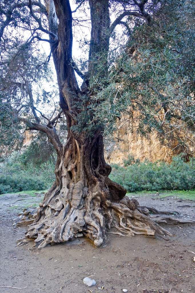 Ramassage des olives.