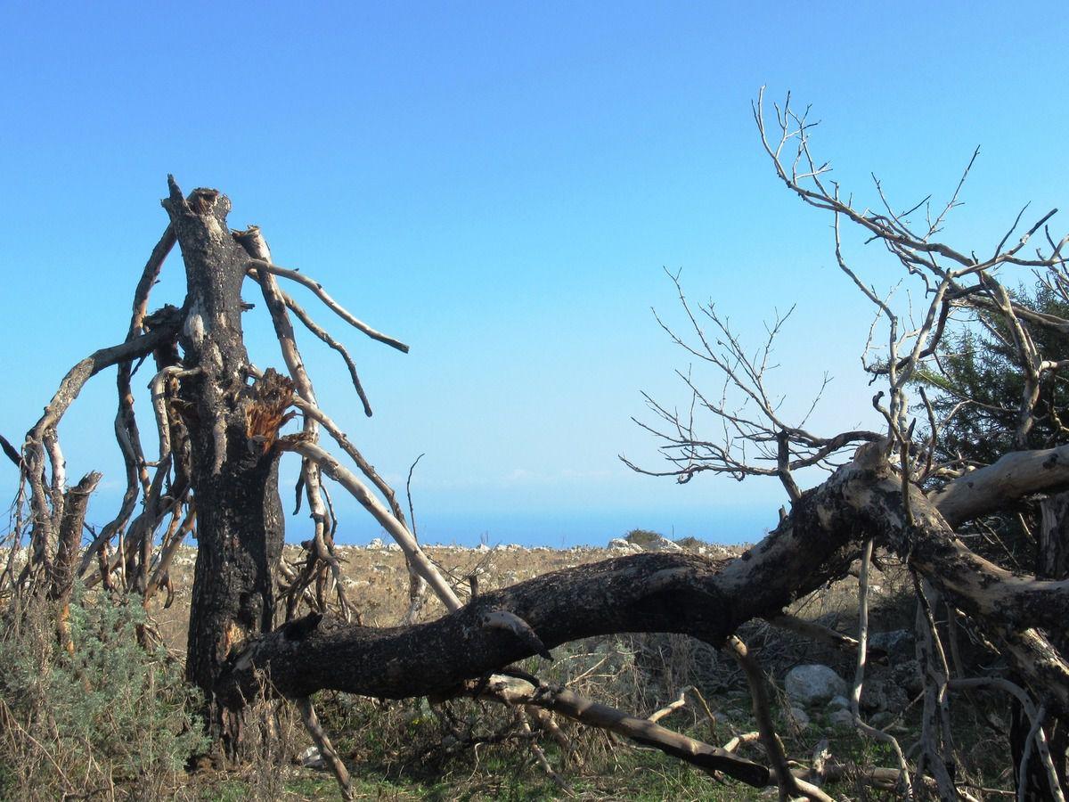I pini di Monte Pellegrino in decadenza (foto di Maurizio Crispi)
