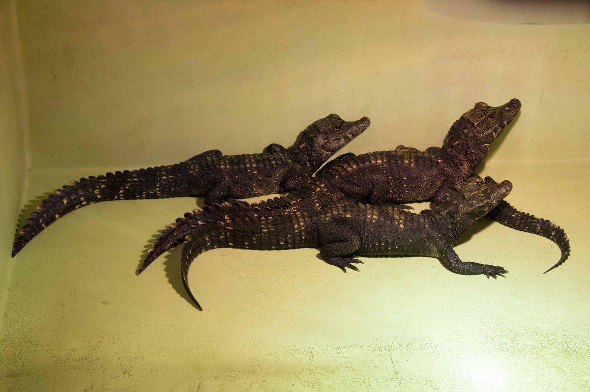 CROCODILE NAIN D'AFRIQUE
