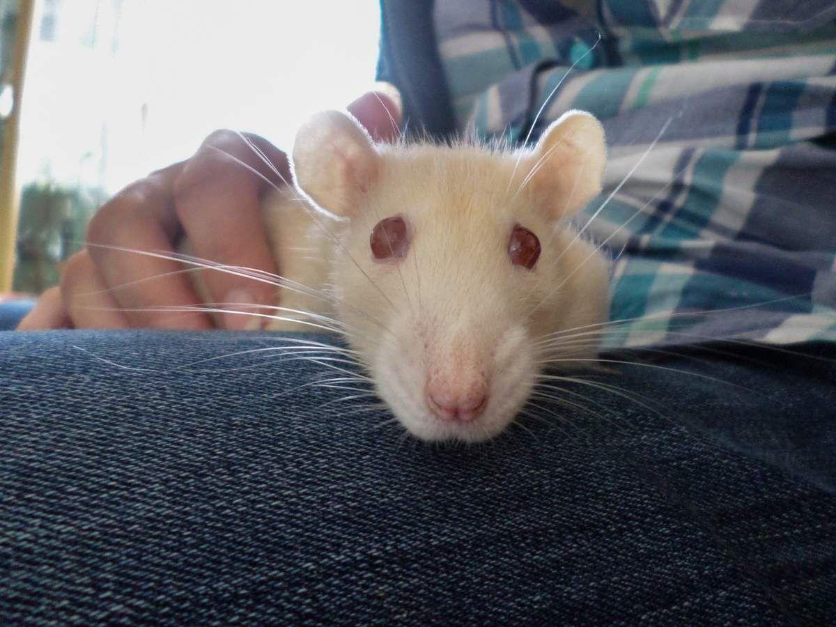 Les rat-ptor