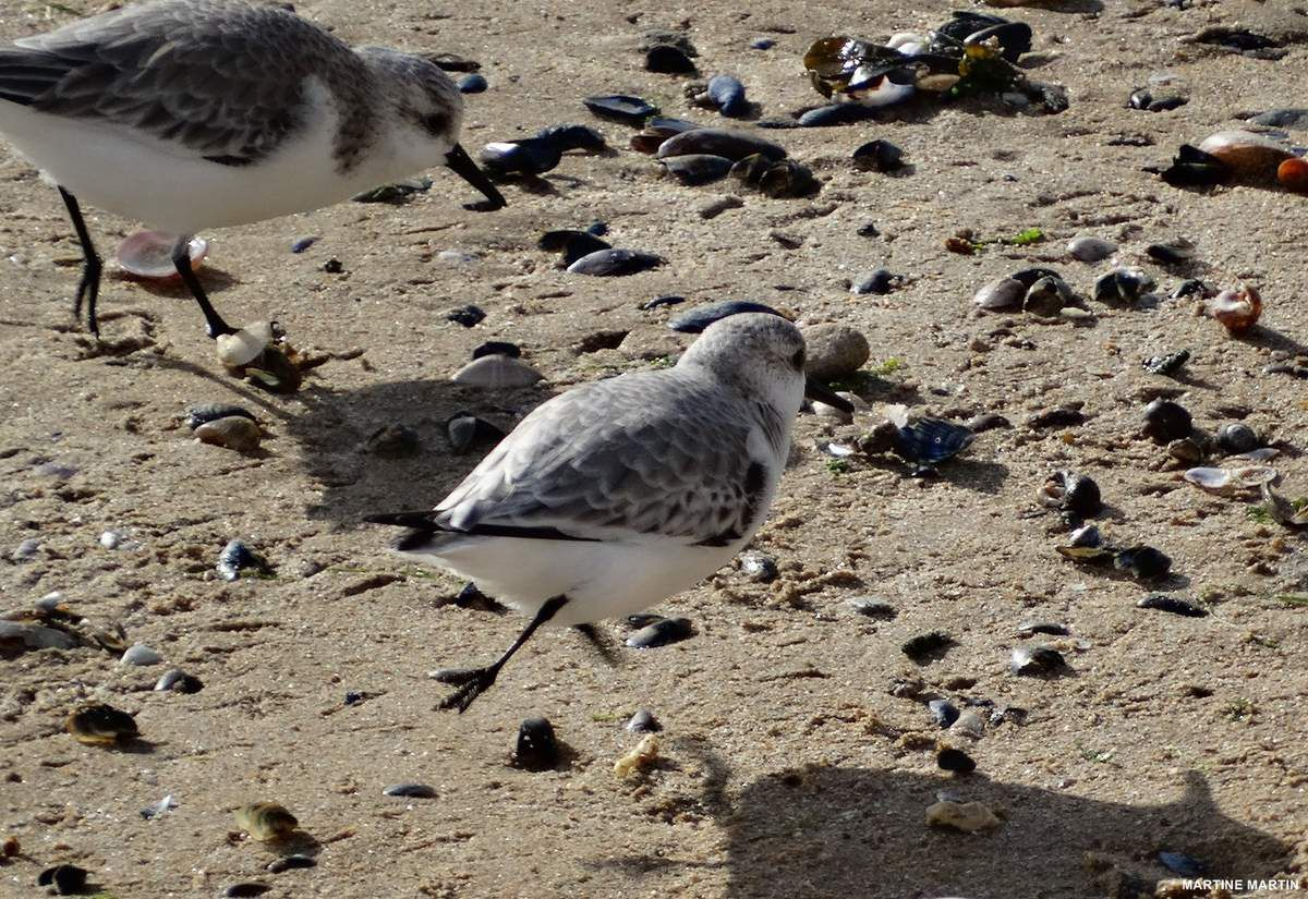 Bécasseaux sanderling sur la plage des Sables