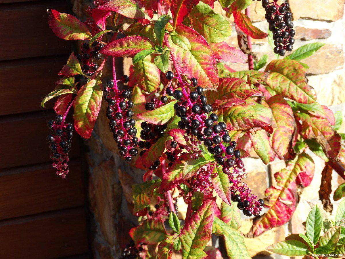 Aujourd'hui nous accueillons l'hiver, mais avant disons au revoir à l'automne en beauté pour le remercier des couleurs qu'il nous a encore offertes avec ce superbe Raisin d'Amérique ou Teinturier (Phytolacca americana) photographié devant une belle maison du château d'Olonne