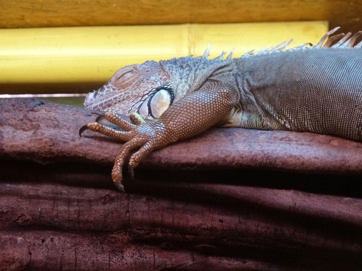 L'iguane du zoo des Sables