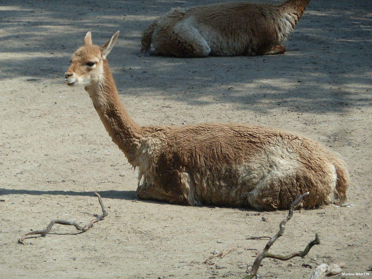 Les vigognes du zoo des Sables d'Olonne (et ses amis....)