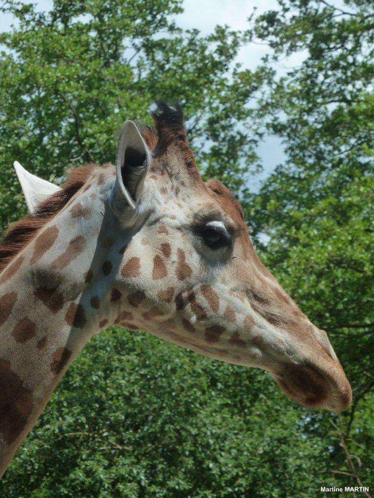 Les girafes du zoo des sables d'olonne