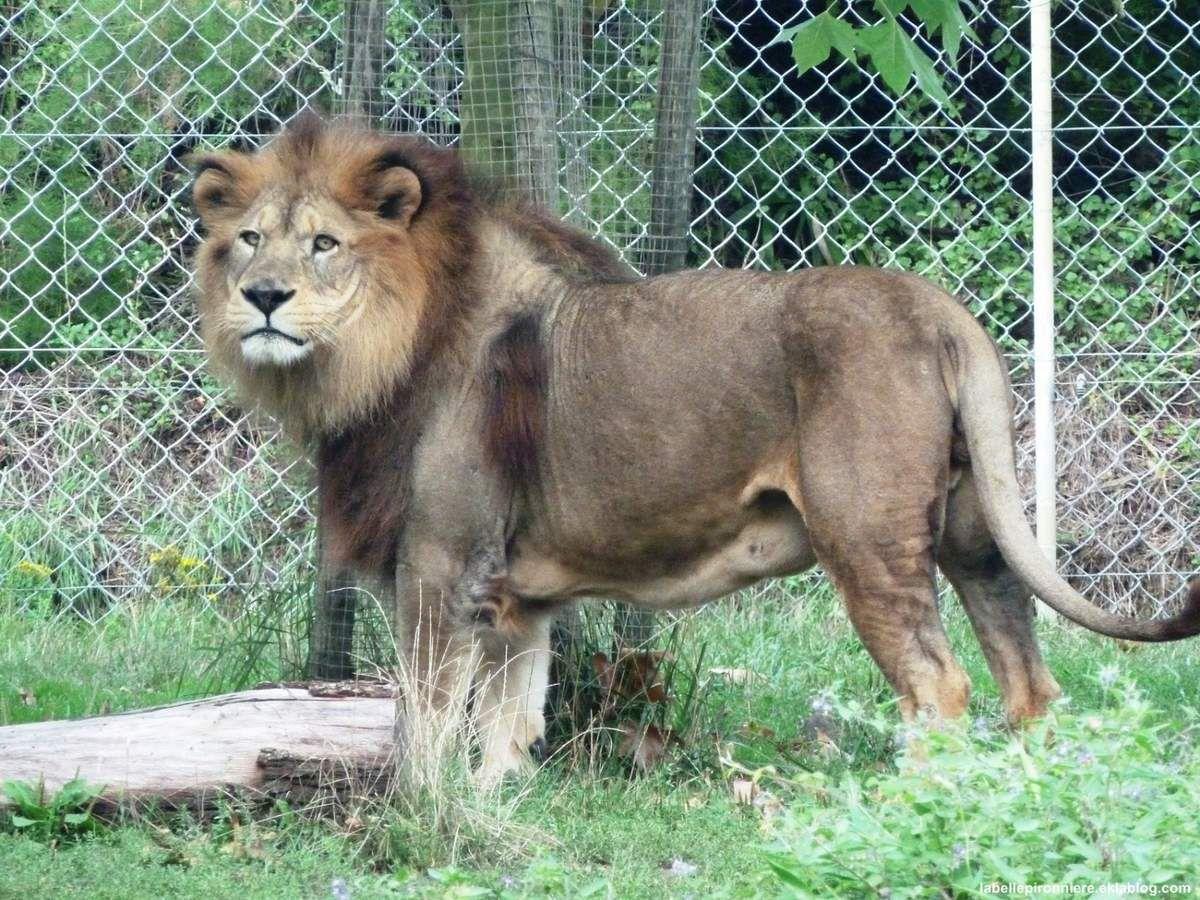 Lion de l'atlas