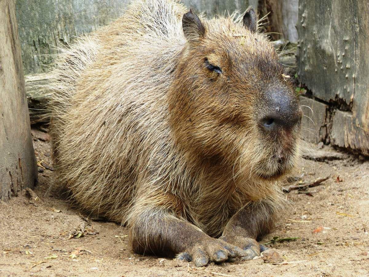 Le capybara ou cabiais du Zoo des Sables