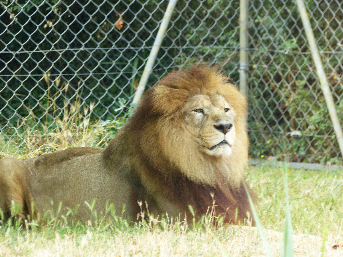 Les lions et la pie au zoo des Sables