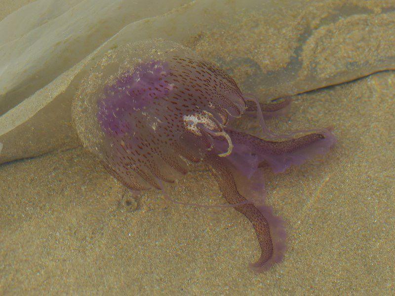 Méduses sur la plage des Sables