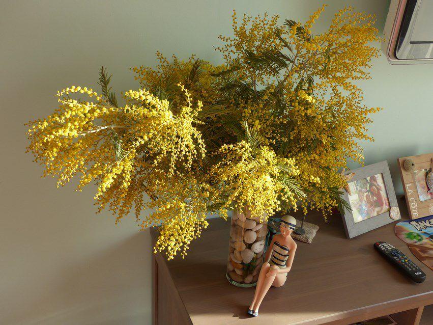 Mimosa de Vendée